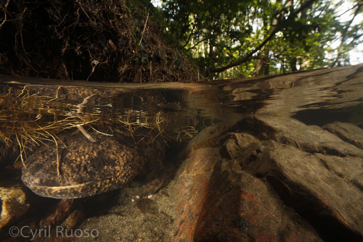 """Résultat de recherche d'images pour """"salamandre géante de chine oeuf"""""""